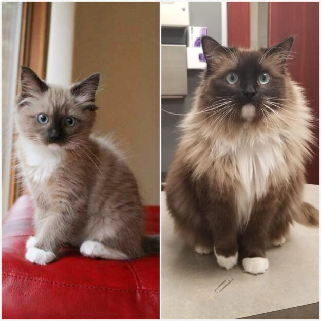 Theodore Roosevelt, a Mink seal mitted 18lb boy, loved by Kristen