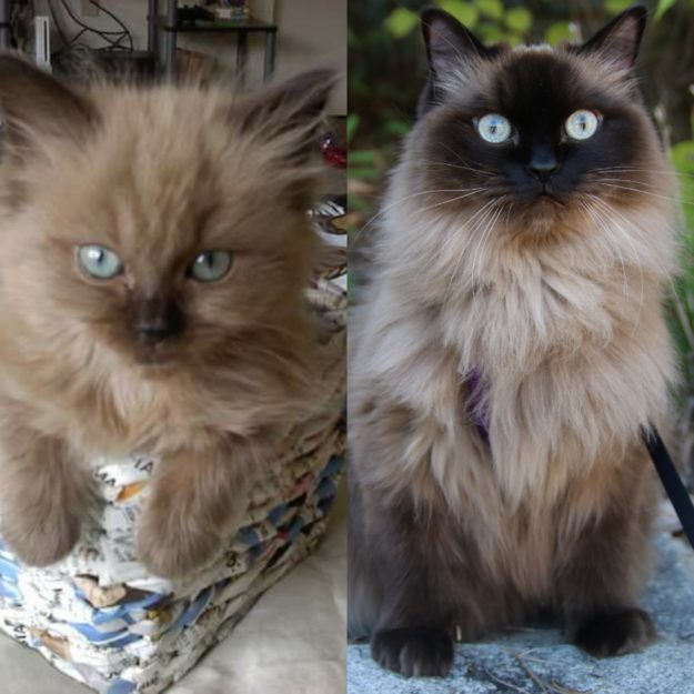Fiona seal point mink ragdoll at 12 weeks and 8 years, loved by Stacey and Jon IMG_20190121_084054