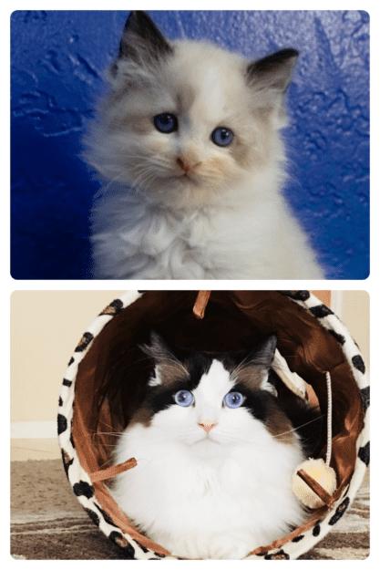 Harley, a Seal Bicolor Ragdoll cat, loved by Debi