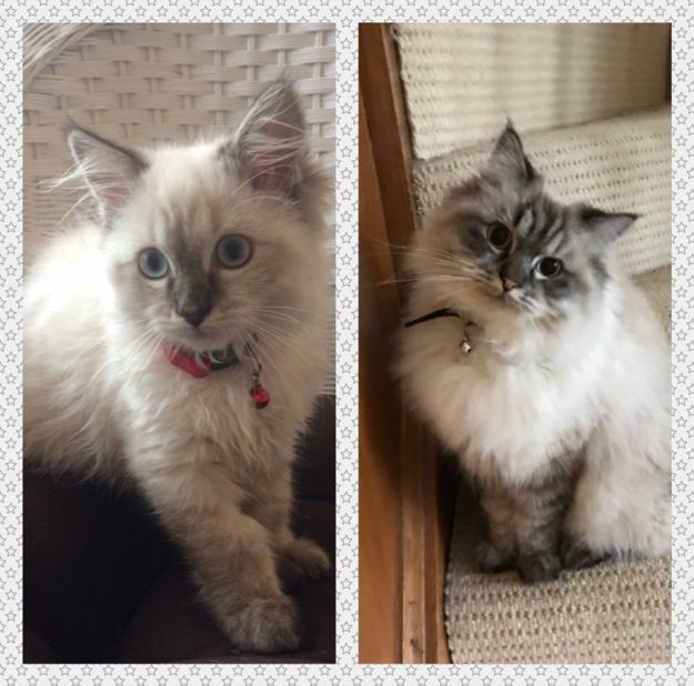 Holden Clawfield, much loved Lilac Lynx Ragdoll from Australia MG_9169