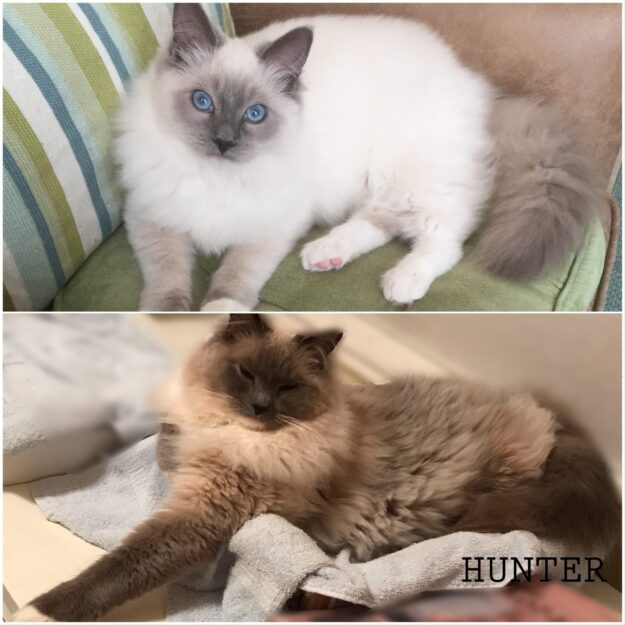 Hunter, a Blue Mitted Ragdoll cat at 8 months and two years two months, loved by Debra