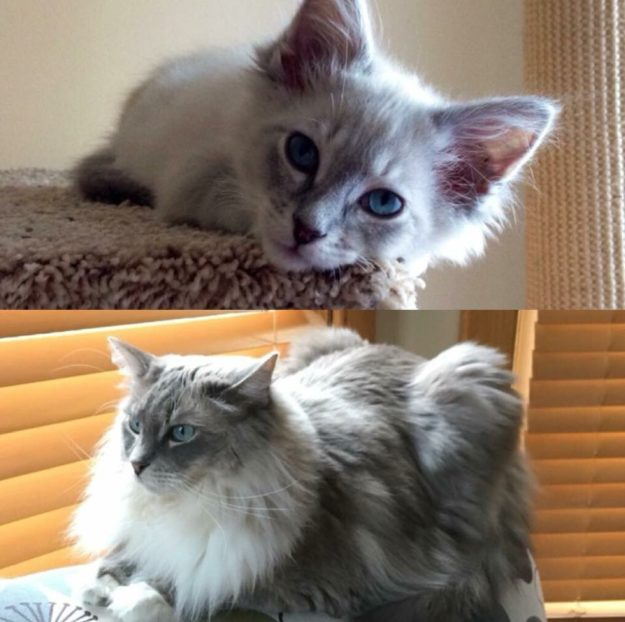Ragdoll Cat Blue Mitted Lynx Mink Napa at 5 months and 4 years old