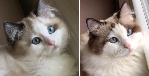Seal Point Bicolor Ragdoll Cat Abby Kitten at 4.5 months and 12.5 months