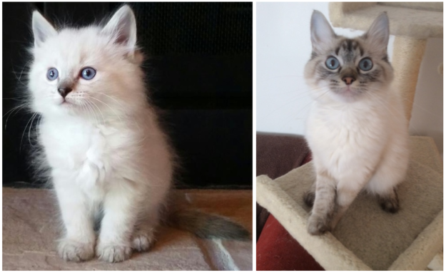 Boo, a seal point lynx Ragdoll cat at 7-8 weeks and at 14 months loved by Lorrie