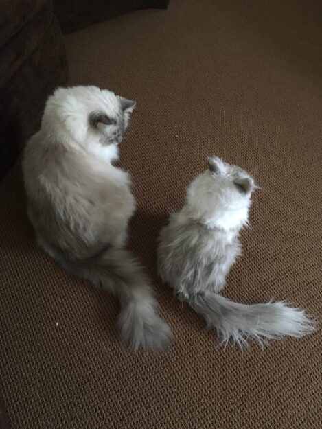 Cuddle Clones Coupon Code FLOPPYCATS10 Ragdoll Cat Trigg Chiggy IMG_4802