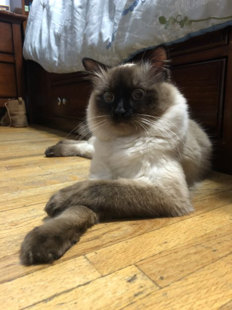 Do you have a Ragdoll Kitten or Cat?  Consider submitting your kitty!  Ragdoll of the Week submission guidelines  Read more Ragdoll of the Week submissions.