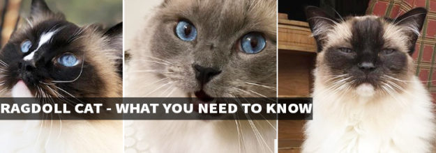 Ragdoll Cat Breed - What You Need to Know
