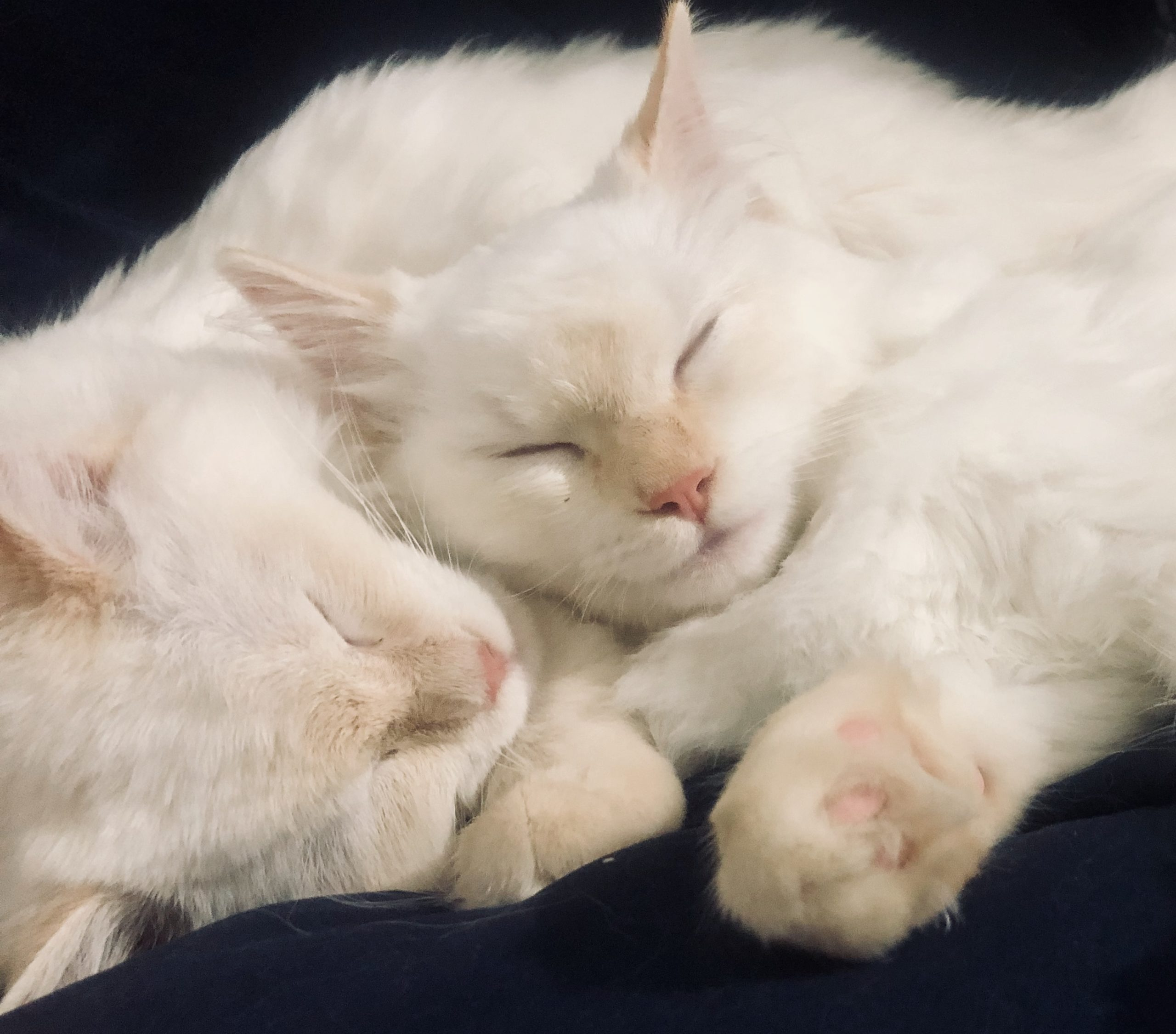 Ruth and Naomi - Ragdoll Kittens of the Month - Floppycats