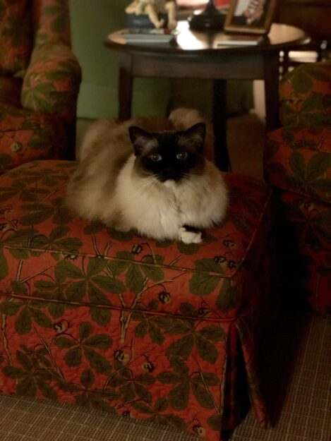 Caymus, a Seal Mitted Ragdoll Cat