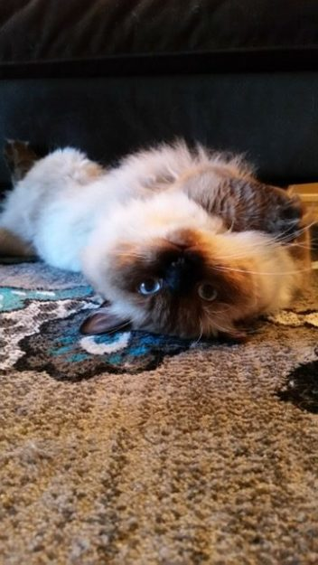 Norman - Ragdoll of the Week image1