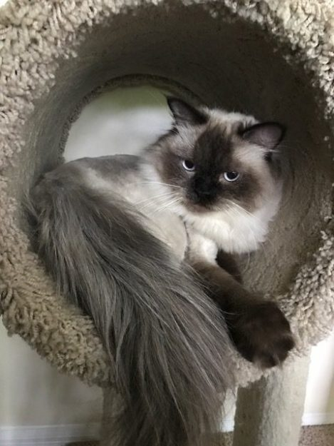 Norman - Ragdoll of the Week image2