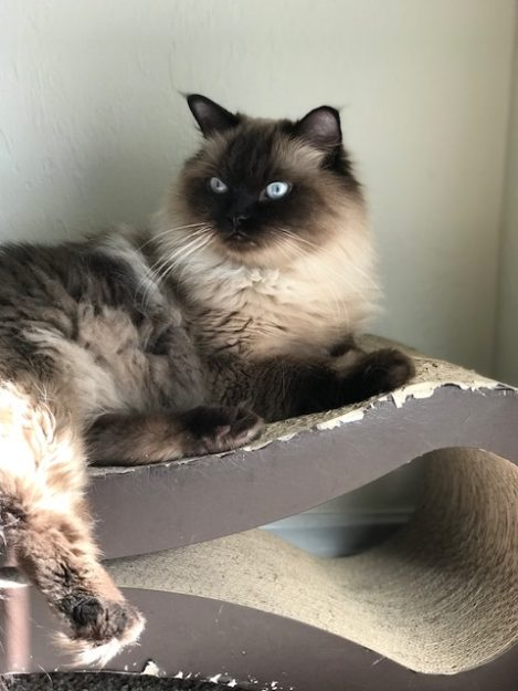 Norman - Ragdoll of the Week image4