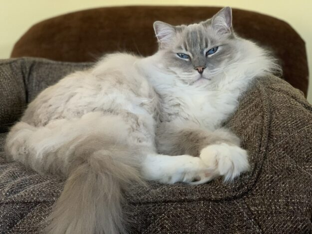 Trigg a blue lynx mitted Ragdoll cat sleeping on the Brentwood home pet bed