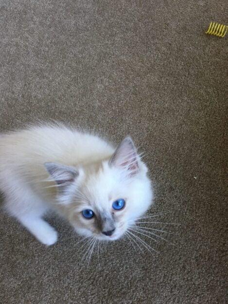 Hendricks - Ragdoll Kitten of the Month image1