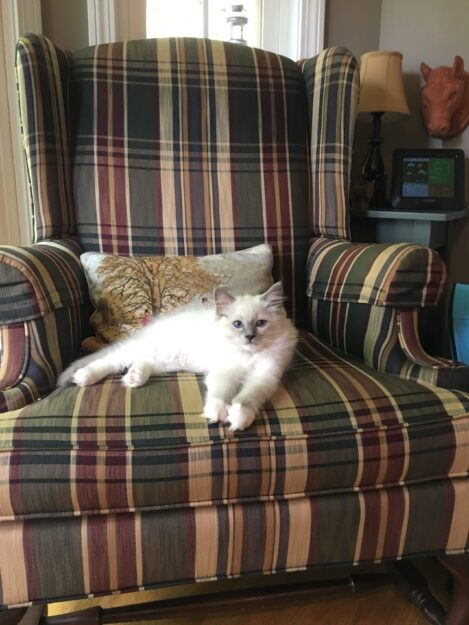 Hendricks - Ragdoll Kitten of the Month image3