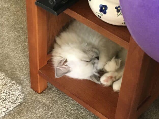 Hendricks - Ragdoll Kitten of the Month image5