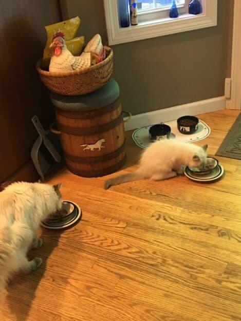 Hendricks - Ragdoll Kitten of the Month image6