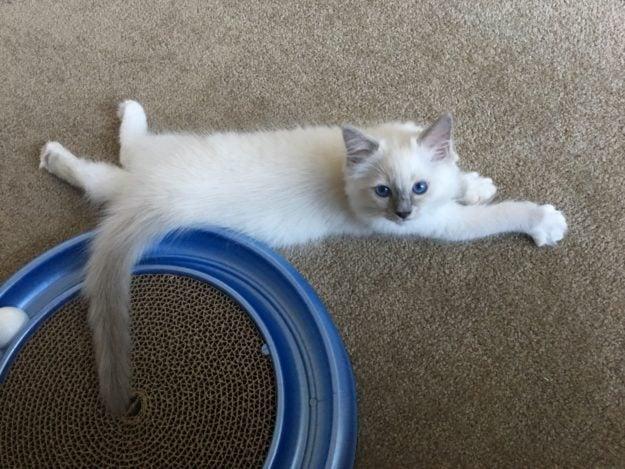 Hendricks - Ragdoll Kitten of the Month image7