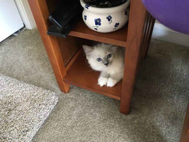 Hendricks - Ragdoll Kitten of the Month image8