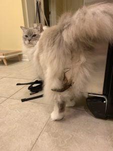 Cat Always Gets Poop Stuck in Fur IMG_4002