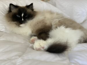 Seal Mitted with a Blaze Ragdoll Cat Charlie on a bed IMG_8456
