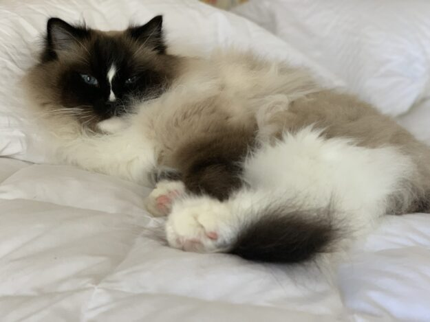 Seal Mitted with a Blaze Ragdoll Cat Charlie on a bed