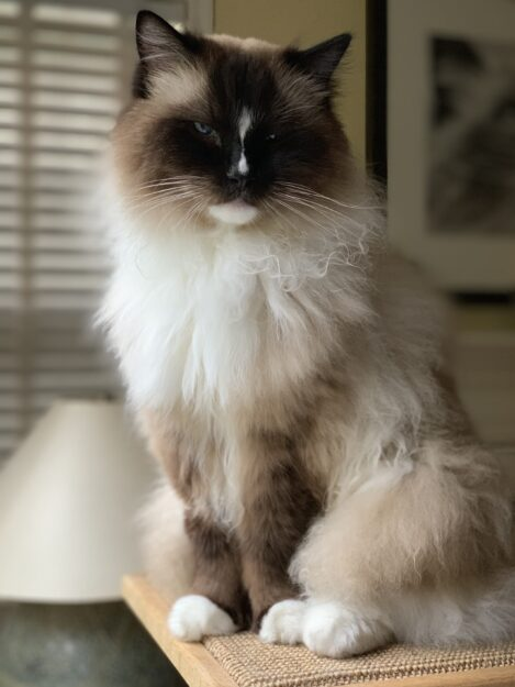 Ragdoll Cat Charlie Mission Veterinary Emergency and Specialty Visit July 25 2019 IMG_5472