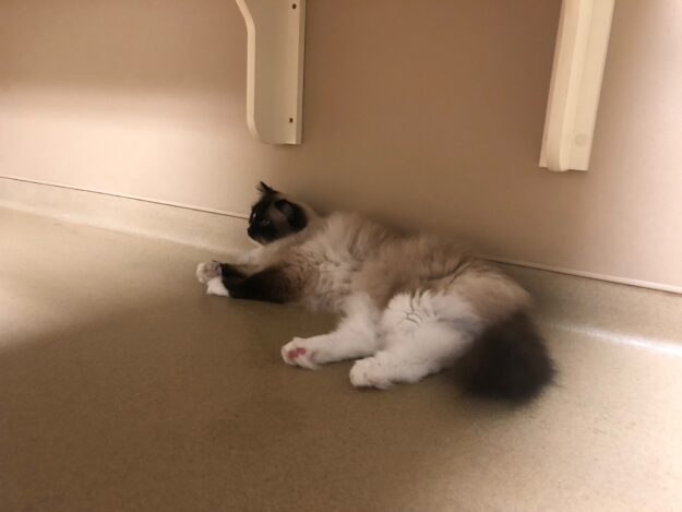 Ragdoll Cat Charlie Mission Veterinary Emergency and Specialty Visit July 25 2019 IMG_9997