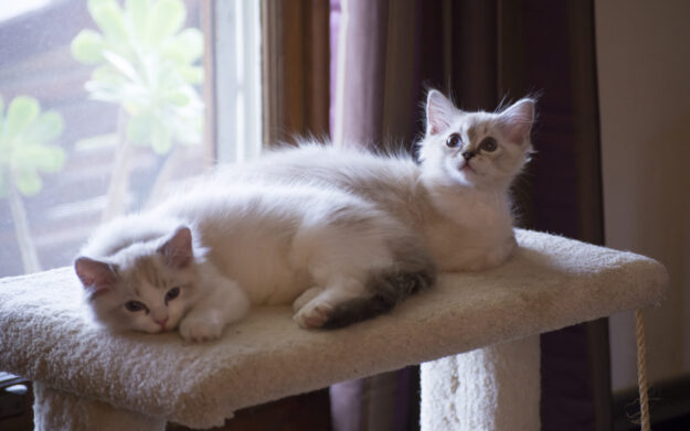 3 months old Dickens and Purrcy Dickens and Purrcival - Ragdolls of the Week