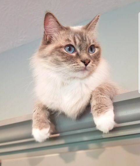 Center Hill Ragdolls Pet - Marie, Traditional Blue Point Mitted Lynx