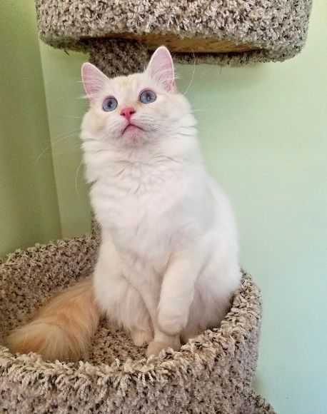 Center Hill Ragdolls Queen - Alani Rose, Traditional Flame Point