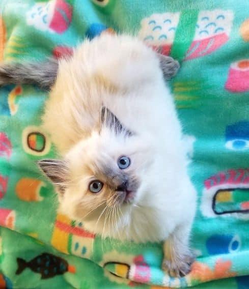 Center Hill Ragdolls Traditional Blue Point Kitten