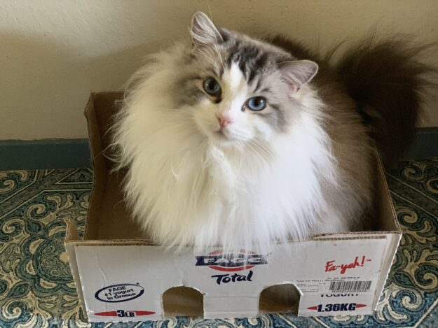 Dickens in his box Dickens and Purrcival - Ragdolls of the Week