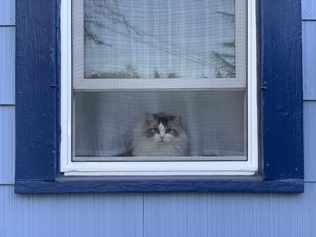 Dickens in the window Dickens and Purrcival - Ragdolls of the Week