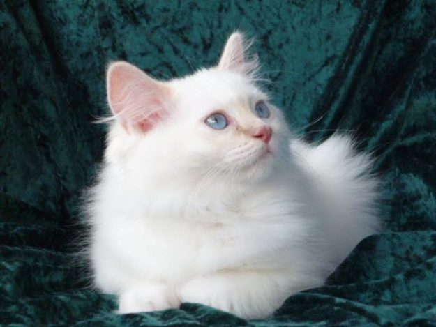 I do hope you will write about your Rainbow Ragdoll, Hershey for the site! You know you can feature him as Ragdoll of the Week.