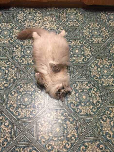 Purrcy - The Kitchen Otter Dickens and Purrcival - Ragdolls of the Week