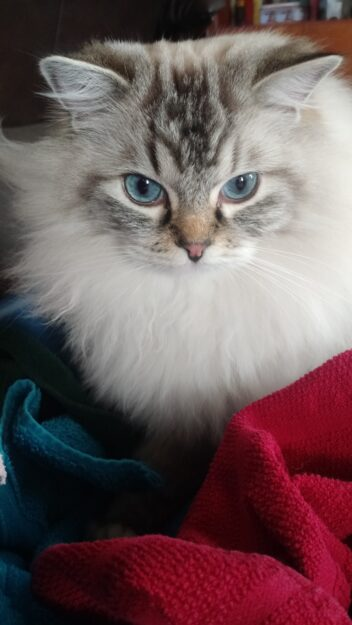Purrcy in the warm towels Dickens and Purrcival - Ragdolls of the Week