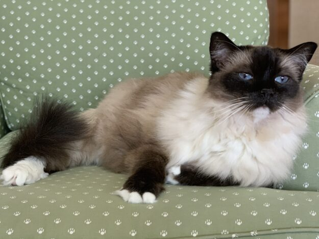 Seal Mitted Ragdoll Cat Caymus August 2019 IMG_5229
