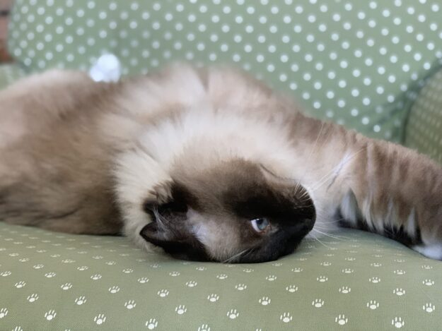 Seal Mitted Ragdoll Cat Caymus August 2019 IMG_5245