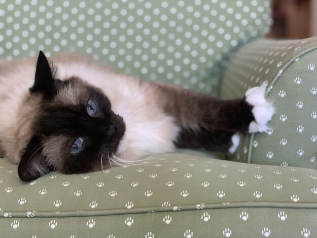 Seal Mitted Ragdoll Cat Caymus August 2019 IMG_5252