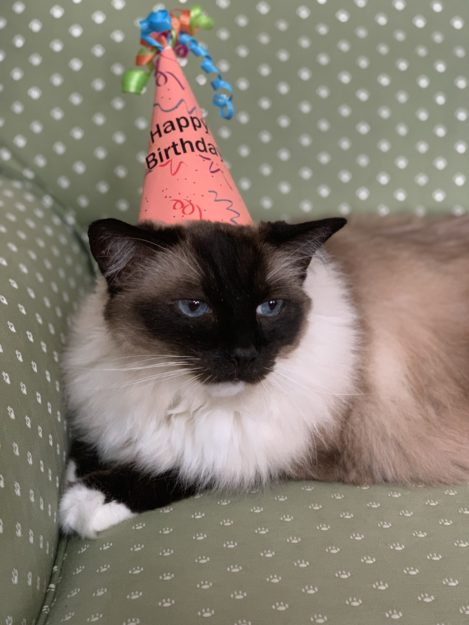 Seal Mitted Ragdoll Cat Caymus Birthday Hat 15 2019 IMG_5032