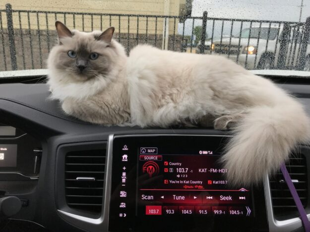 Willow - Ragdoll of the Week IMG_2238