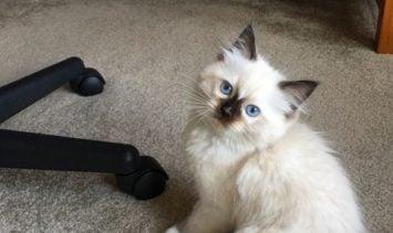 Hayden - Ragdoll Kitten of the Month image1