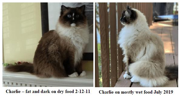 Ragdoll Cat Color Change – Charlie