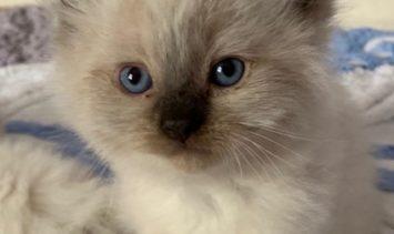 Milo - Ragdoll Kitten of the Month 2