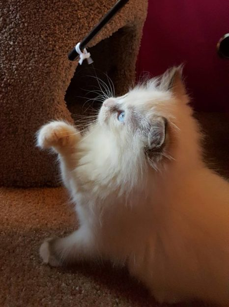 Ms Mia Meow - Ragdoll of the Week 3