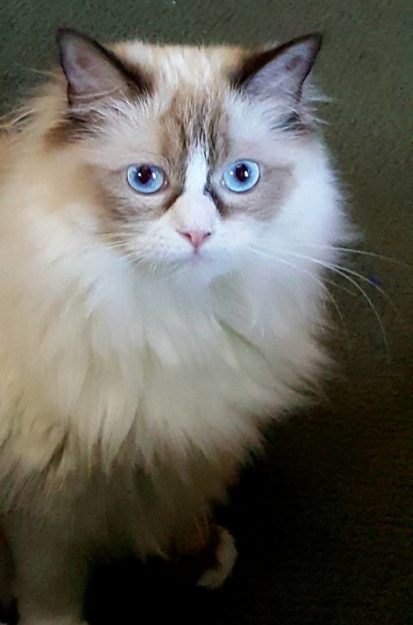 Ms Mia Meow - Ragdoll of the Week 6