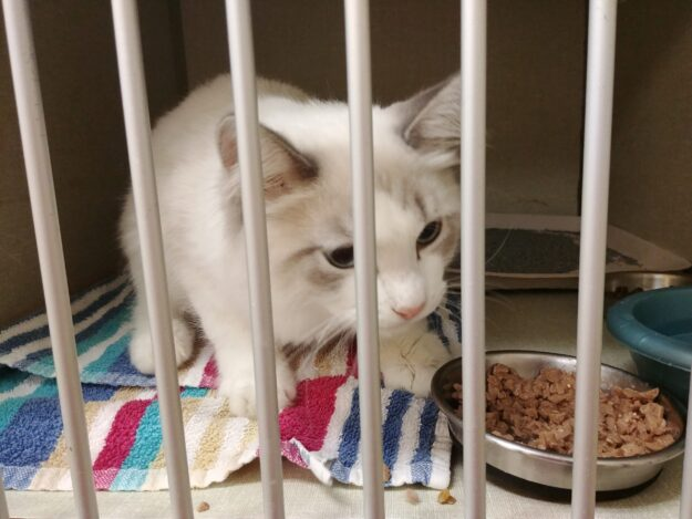 Can a Cat with FIP Survive Cat FIP Cure - a Cat That Survived 20190815_192504