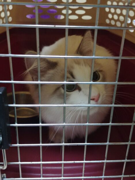 Can a Cat with FIP Survive Cat FIP Cure - a Cat That Survived 20190816_181036