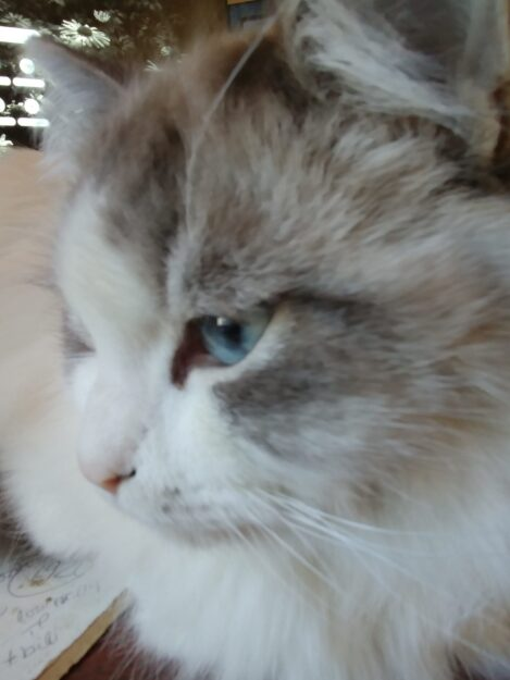 Can a Cat with FIP Survive Cat FIP Cure - a Cat That Survived 20191113_142926